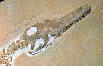 craneo de Geosaurus