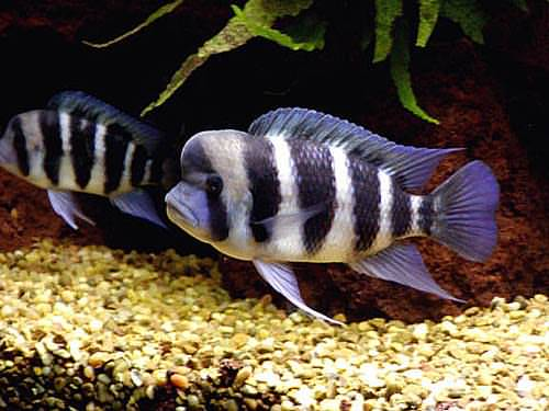Aqua Fanatic: Breeding Cyphotilapia Frontosa