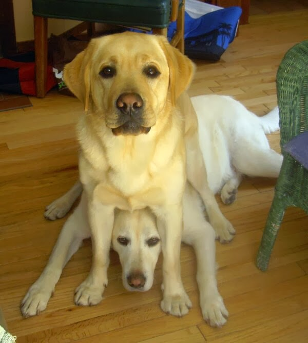 adorable dog pictures, lab dog sits on other dog