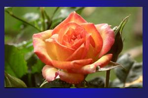 mawar_kuning50802