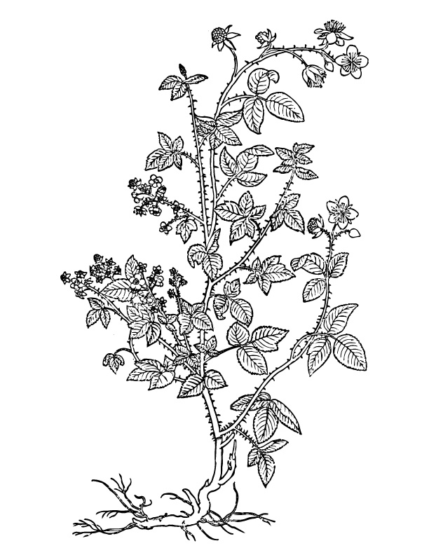 Bramble Bush Drawing Blackberry – Folk Medicine And