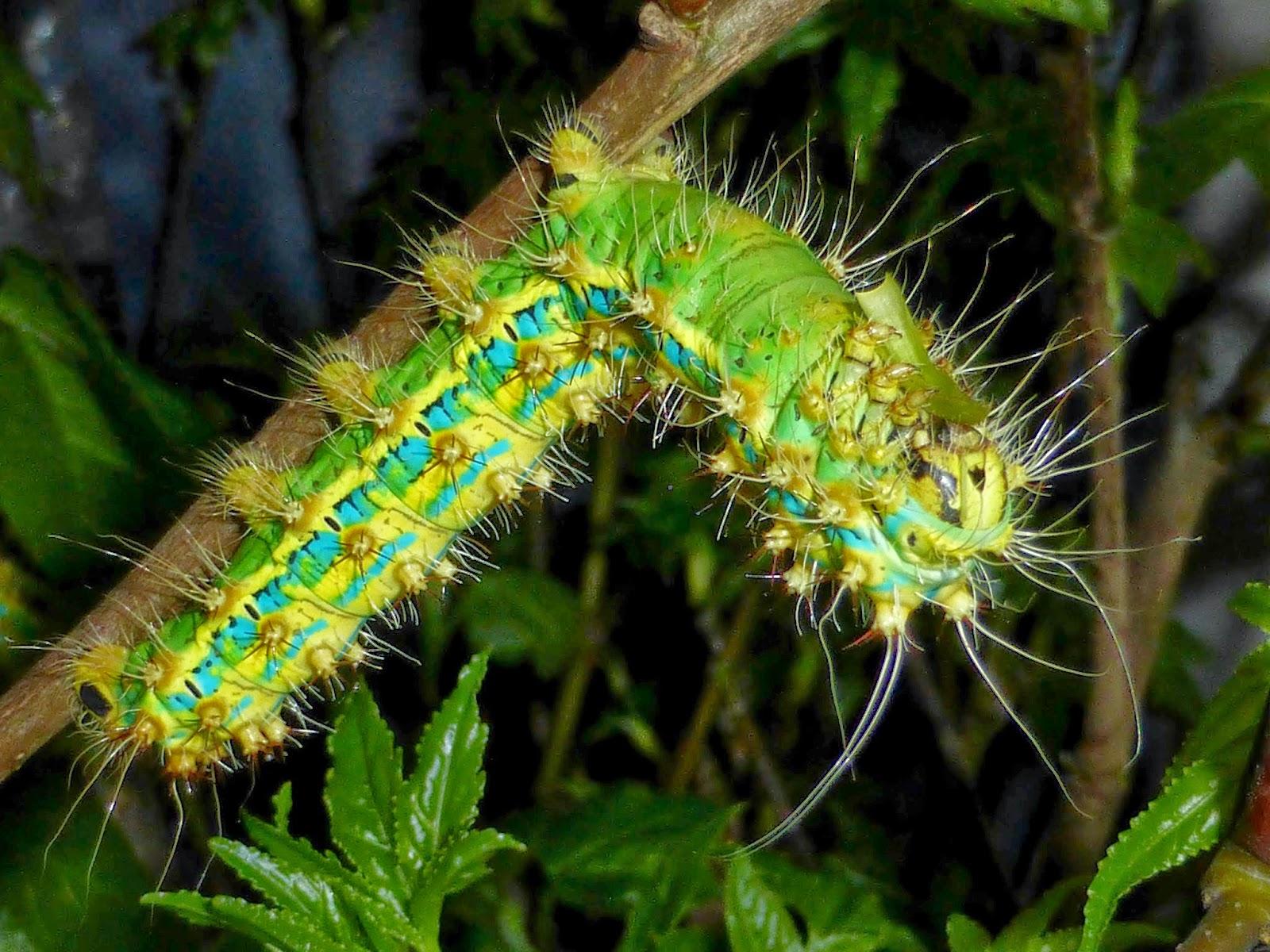 Saturnia pyretorum caterpillar L5