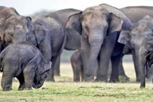 عدد من الفيله تسحق امرأة في الهند !! .. شاهد التفاصيل