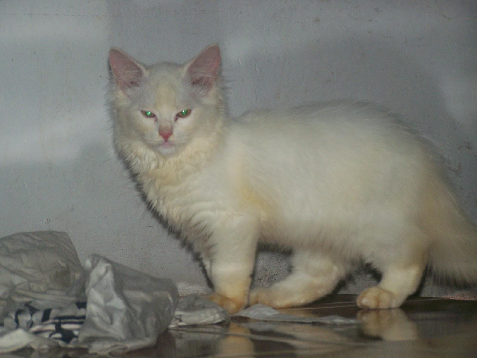 Kucing Persia Kucing Himalaya Mantap