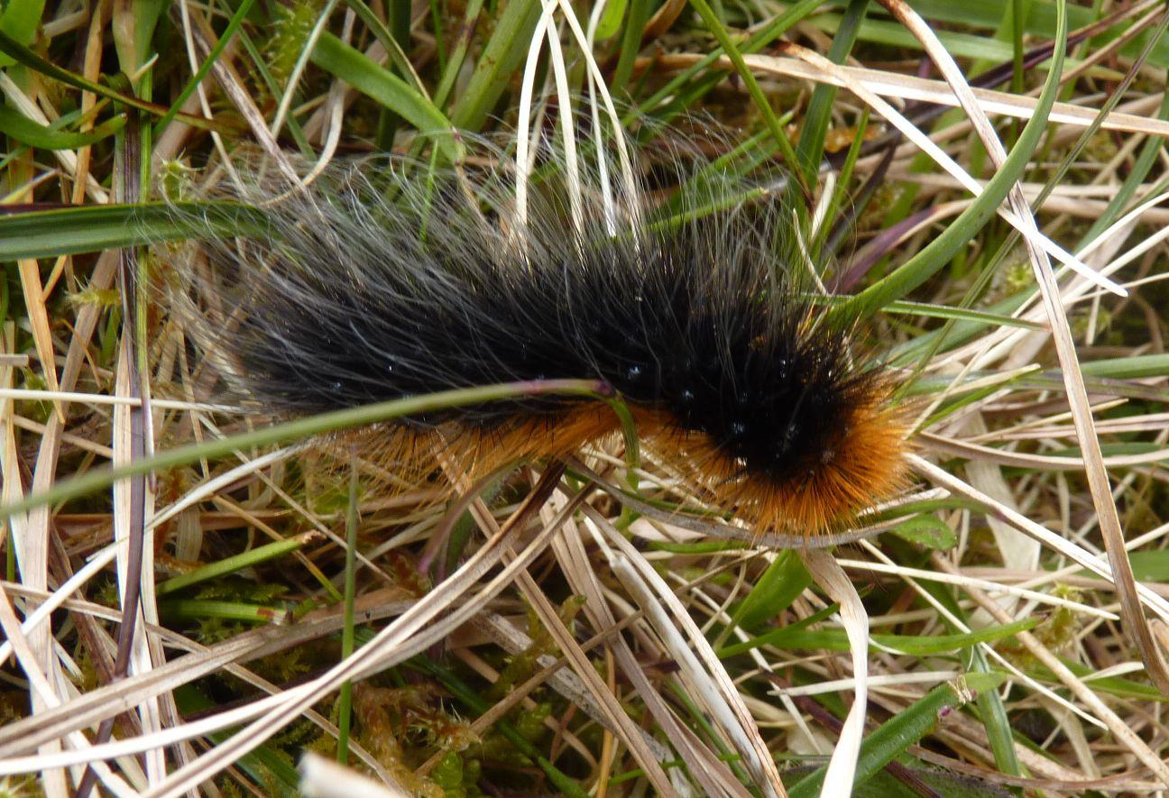 Islay Natural History Trust: Caterpillar Extravaganza