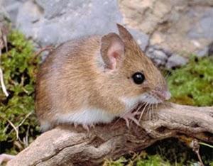 Animales en combate mantis religiosa vs rat n - Como cazar un raton en un piso ...