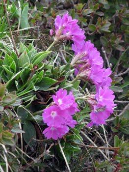 Primula glaucescens Moretti (Primula di Lombardia)