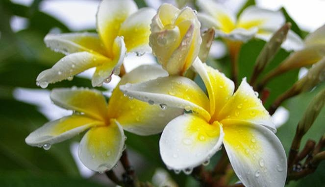 Frangipani Flower Benefits as Antibiotic | Health Benefits of Plants