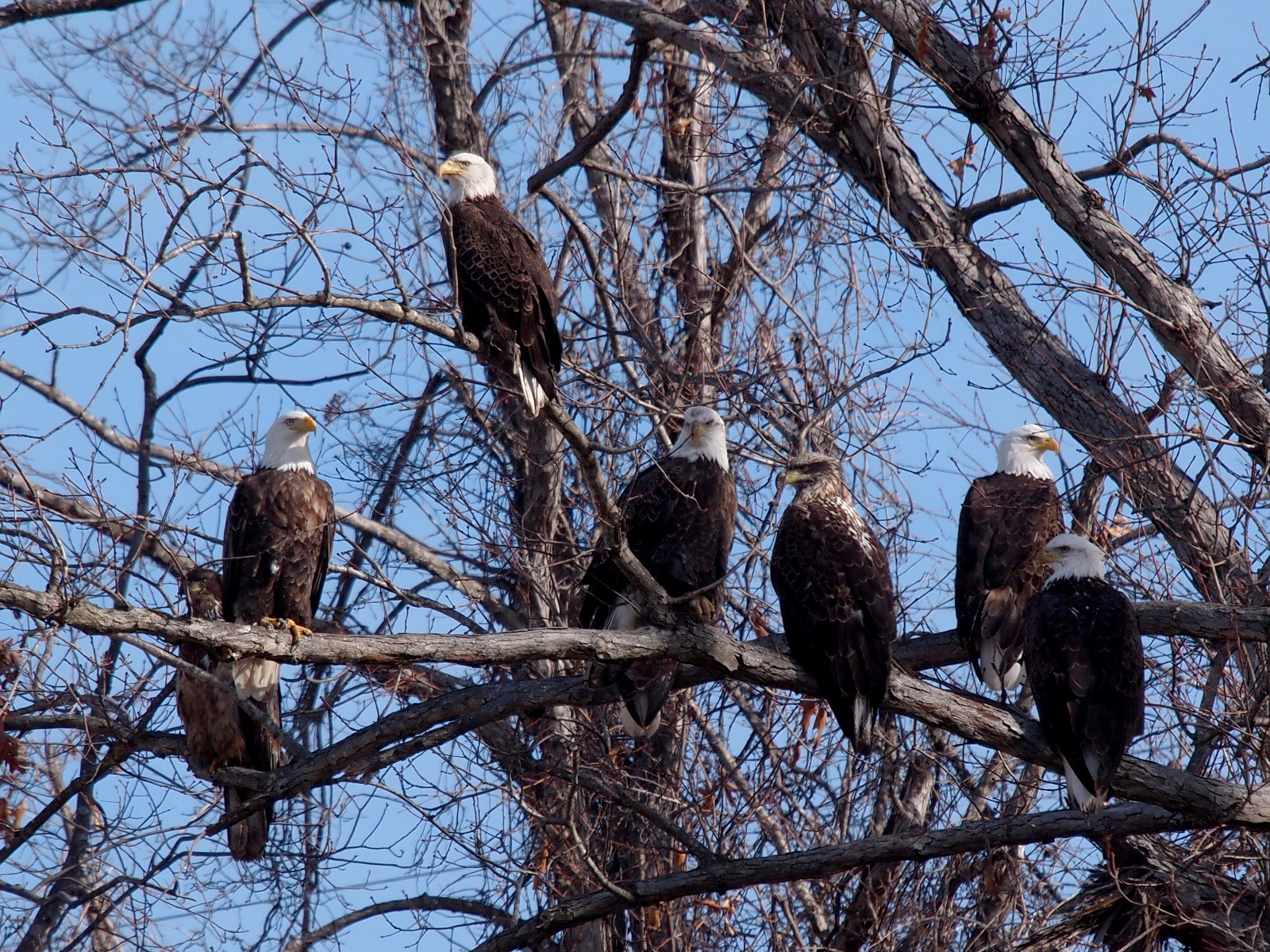 Princeton landing news may 2011 the bald eagle became our national emblem in 1782 when the great seal of the united states was adopted but over the years hunting and the use of biocorpaavc