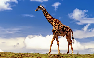 Le giraffe possono vivere in gruppi tra i 10 e 70 individui