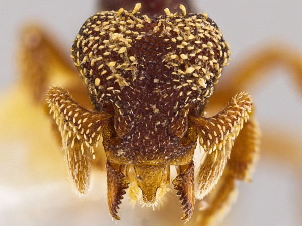 33 new species of monstrous-looking predatory ants discovered