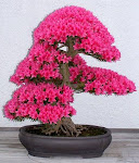BONSAI DEL MES