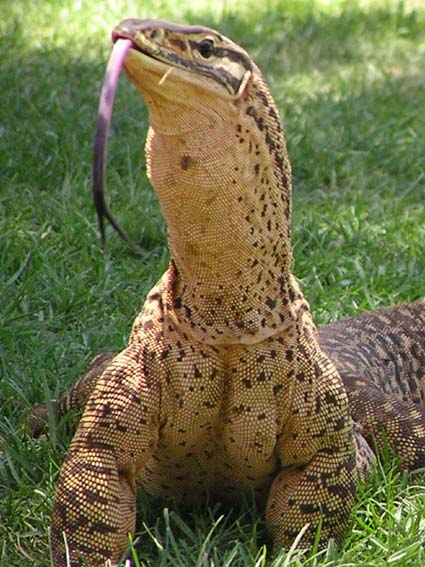 Species of the Day  Argus MonitorArgus Monitor