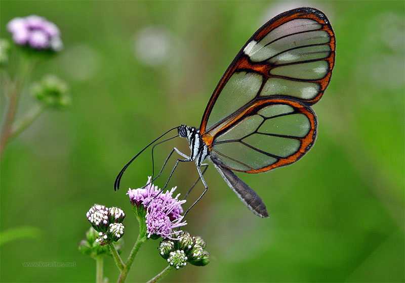 Stunning Photos Of The Glass Winged Butterfly