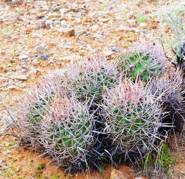 Ferocactus cylindraceus 014