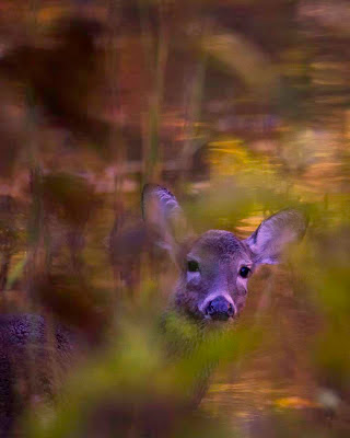 Whitetail Doe in the Buffalo National River