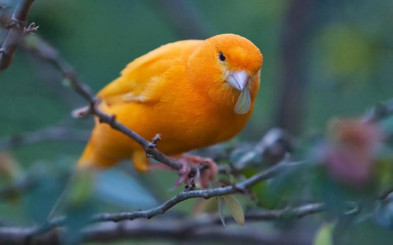 Suara Kenari Betina Gacor Untuk Pancingan Burung