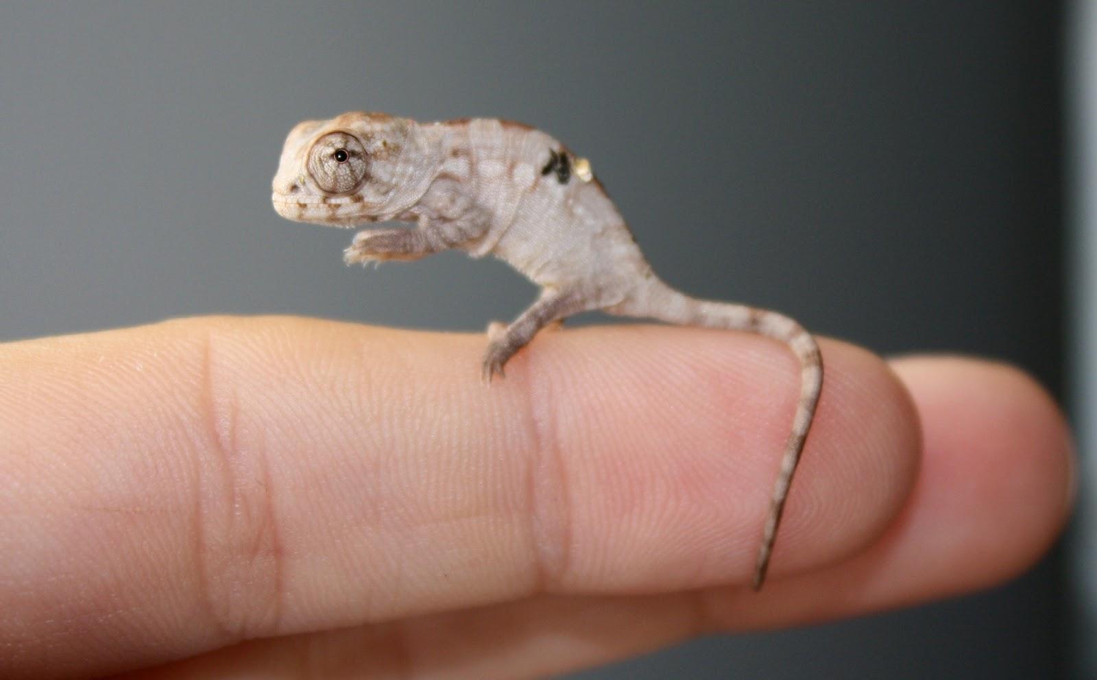 The Chameleons Swamp Thing