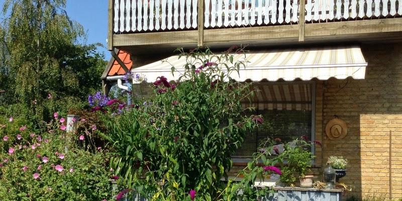 Skærmlilje, agapanthus, sommerfuglebusk