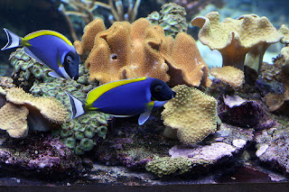 Blue Tang Fish picture