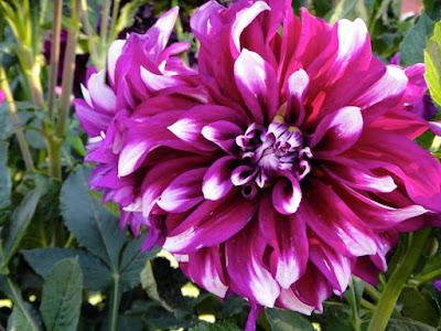 Turkish flower