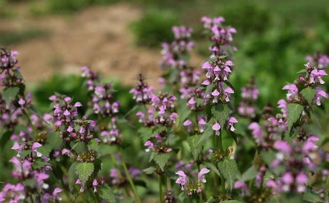 Lamium Maculatum Flowers Pictures