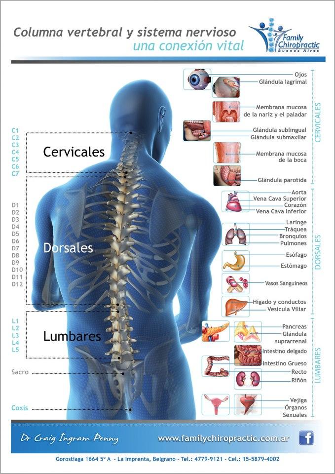 Excelente Anatomía Columna Vertebral Interactiva Modelo - Imágenes ...