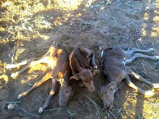 Fato inédito: Vaca dá cria a três bezerros no município de Parambu