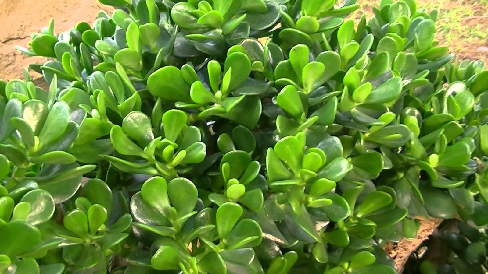 El espiritu de las plantas planta de jade for Planta del dinero feng shui