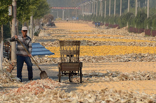 Worker helping to dry corn in Beijing