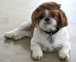 Small Shih Tzu Picture