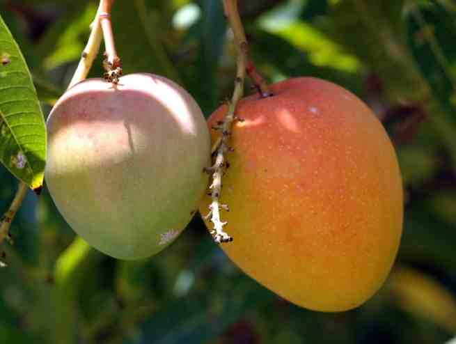 """production of mango mangifera indica in And irrigation requirements of mango (mangifera indica l):  in  the mango – botany, production & uses, 1st edn, 203–256 (ed."