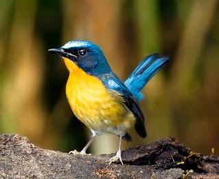 Burung Tledekan-Habitat dan Kebiasaan Burung Tledekan-Burung Tledekan biasa tinggal pada tempat yang cenderung lembab. hutan lebat dan hijau, sering dekat satu aliran sungai dan biasanya pada hutan tropis dan sub tropi. Kebanyakan Burung Tledekan berkembangbiak di ketinggian dari 5000?,350ft(1,525?,850m). Burung tledekan ini banyak hidup di tempat yang cenderung lembab,hutan lebat berdaun lebar dan hijau, sering dekat satu aliran sungai dan biasanya pada hutan tropis dan sub tropis. Kebanyakan berkembangbiak di ketinggian dari 5,000-350 ft (1,525-850 m).Mulai dari Himalaya daerah dari Negeri nepal, Bhutan, India, dan meluas melalui pegunungan dari Myanmar, Thailand, Kamboja, dan Cina barat daya dan Tenggara, asia, termasuk semenanjung Malaya dan Sumatera, jawa.    Burung Tledekan ini termasuk burung yang tidak melakukan migrasi, tapi melakukan perpindahan habitat musiman diantara dataran tinggi dan rendah. Pasangan Burung Tledekan ini berkembangbiak pada satu wilayah tertentu. Walaupunaktif bergerak tapi Burung Tledekan sering duduk di atas bertrnggrt untuk waktu yang agak lama. Kicauan Burung Tledekan ini berupa rangkaian sederhana tiga atau empat kombinasi siulan. Burung Tledekan termasuk burung fighter (seperti burung Murai Batu, Kacer, Ciblek.)
