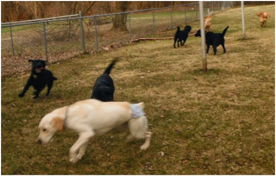 A slightly blurry shot of a fenced in back yard with seven dogs running around. The dog in the foreground facing left is a yellow lab, wearing panties because she is in heat. Close beyond her are two black labs running toward her. There seems to be a couple of posts in the background on the right where there are two more black labs and two golden way beyond them, running away from the camera.