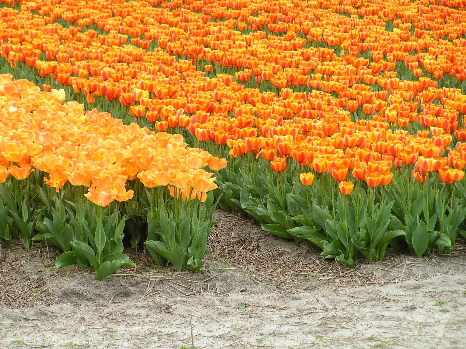 tulipe a berck