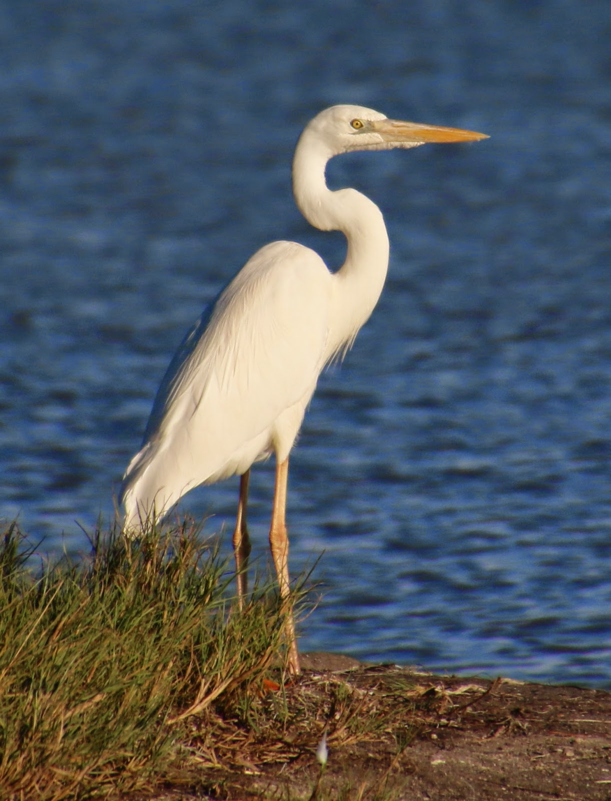 the white heron A white heron and other stories study guide contains a biography of author sarah orne jewett, literature essays, quiz questions, major themes, characters, and a full summary and analysis.