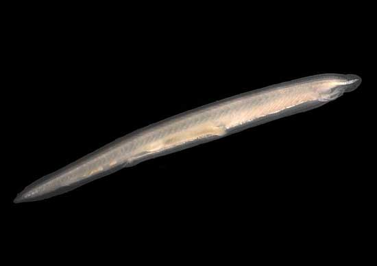 Rarest Marine Deep Sea Creatures Amphioxus