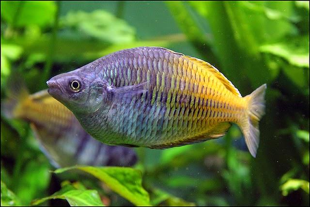un pez de agua fria nadando