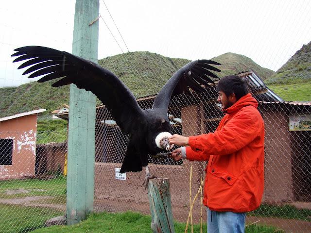 Asas do condor