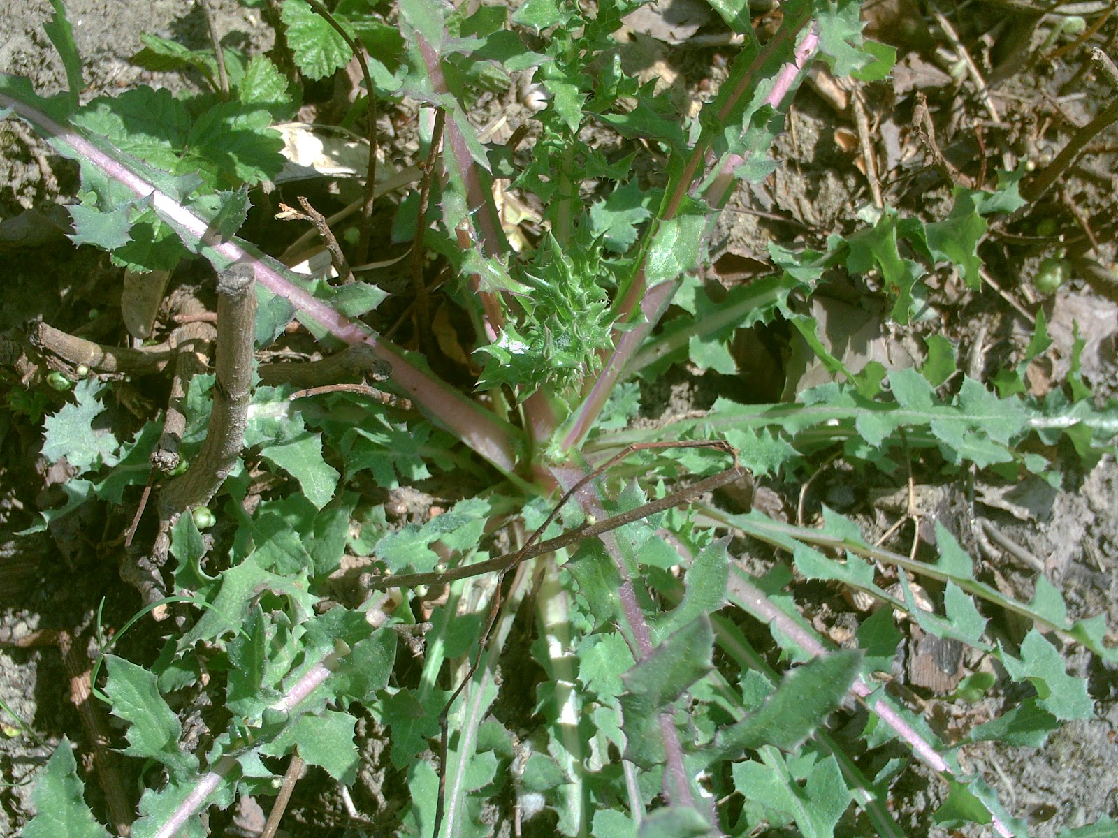 piccoli frutti piante selvatiche commestibili