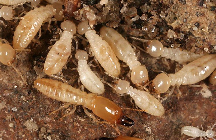 fotos de termitasBaby Termites Look Like