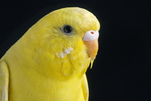 Foto Burung Parkit Hijau Jantan