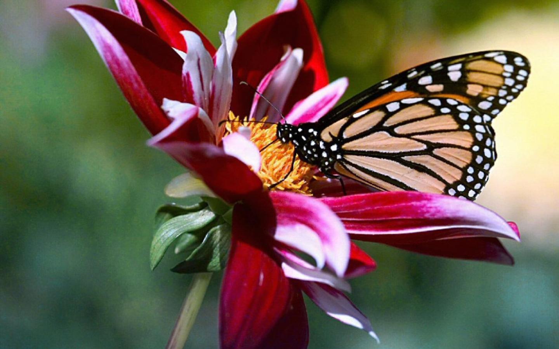Linkamigratis 20 sfondi desktop farfalle 1440x900 for Sfondi con farfalle
