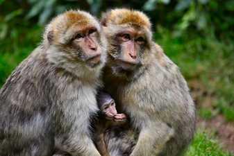 Bebé mono con sus padres
