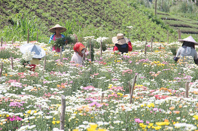 eden tupi, edens flower farm, Edens Flower Farm Tupi, flower farm tupi, flowers, mums, mums flower farm, roses, South Cotabato, tupi south cotabato, travel