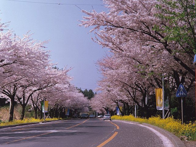 Cherry Blossoms during Spring Season at Jeju Island