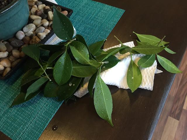 trim golden gate ficus bonsai