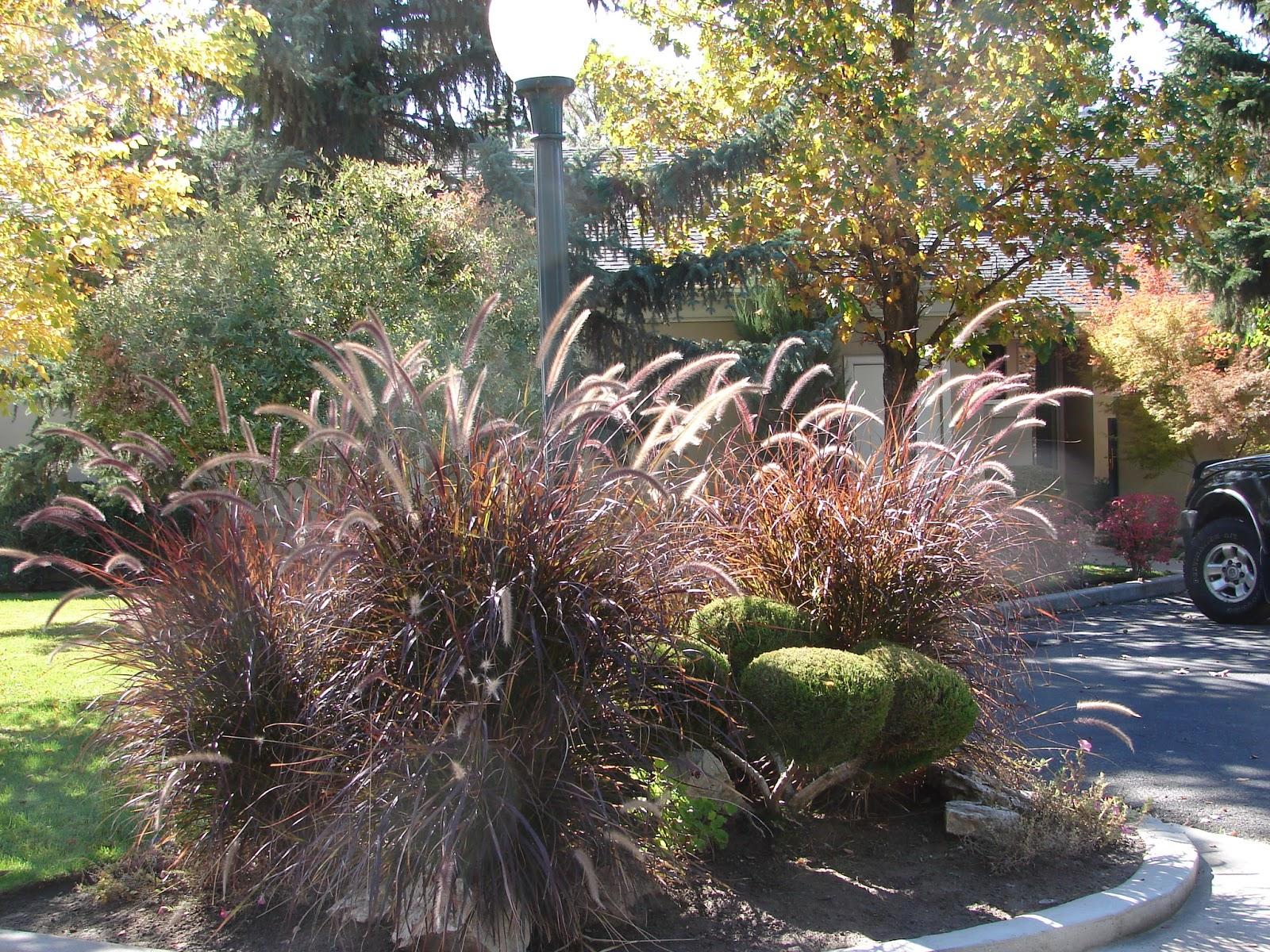 New Utah Gardener: Is Purple Fountain Grass A Perennial?