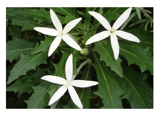 Got It Cara Mengobati Sakit Mata Dengan Obat Tetes Mata Alami Dari Tanaman Bunga Bintang