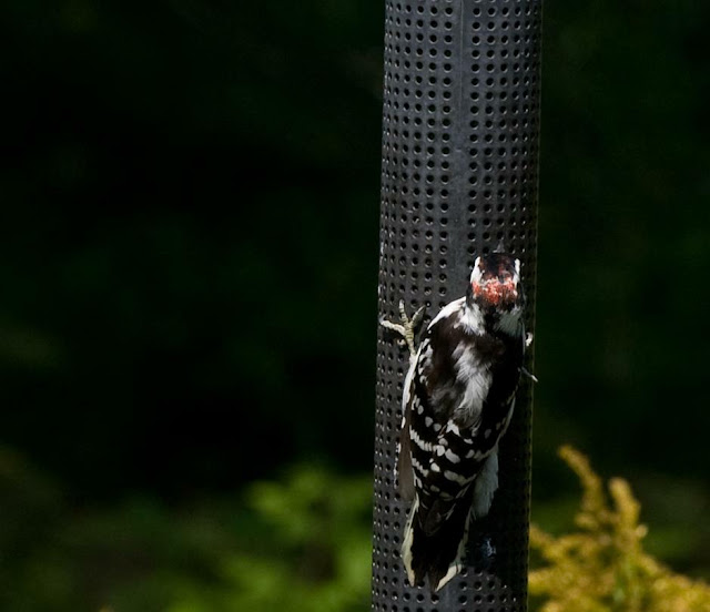 mail hairy woodpecker, Orillia